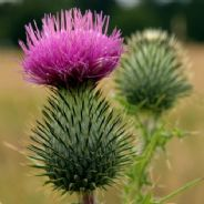 Onopordon acanthium - Cotton Thistle - 25 seeds